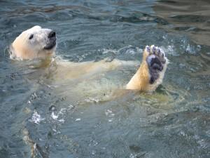 Oso polar nadando en el agua