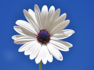 Una gerbera de color blanco bajo el cielo celeste