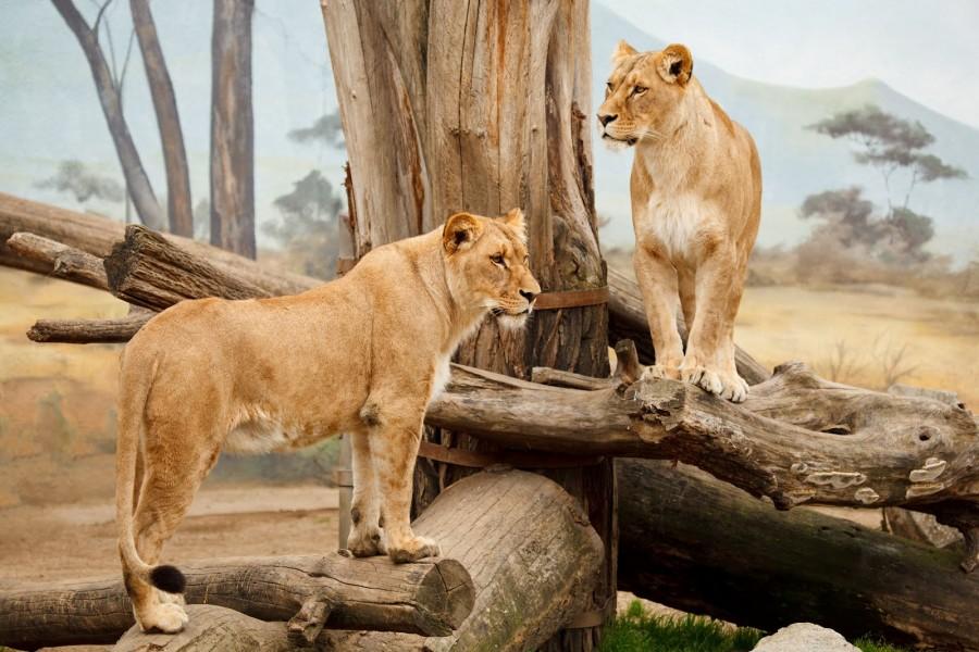 Dos leonas sobre unos troncos