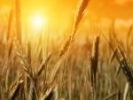 Sol iluminando el trigo