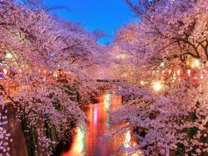 Luces entre los cerezos en flor