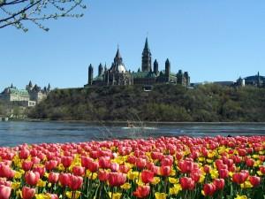 Tulipanes en la ciudad