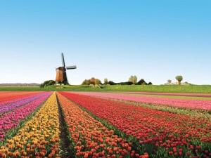 Hermosos tulipanes junto al molino