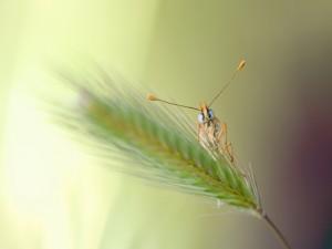 Mariposa sobre una espiga de trigo