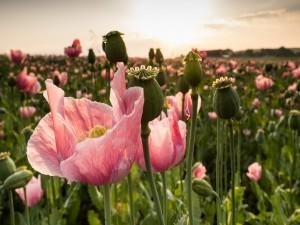 Amapolas rosadas en el campo