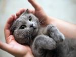 Gato acostado entre unas manos