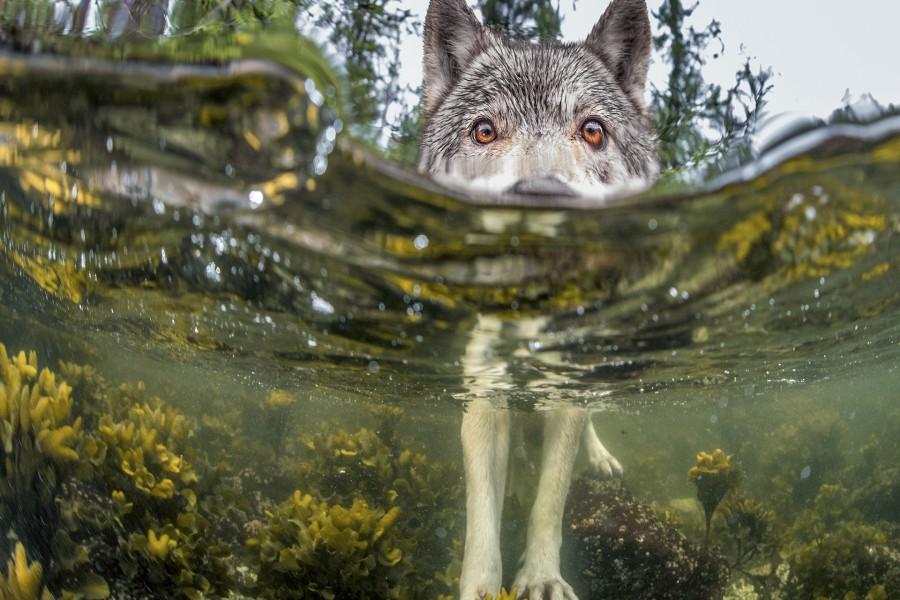 Lobo nadando en el río