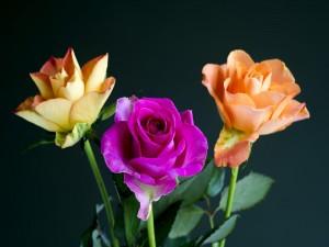 Tres rosas de colores
