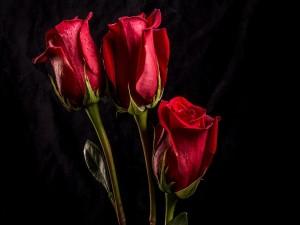Tres rosas rojas con gotas de agua sobre un fondo oscuro