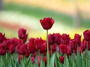 Unos bonitos tulipanes rojos