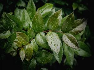 Hojas verdes con gotas de lluvia