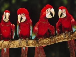 Cuatro loros de color rojo en una rama