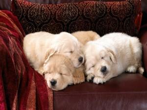 Cachorros blancos acurrucados en un sillón