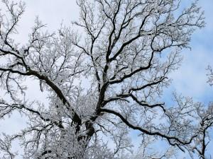 Ramas de un árbol cubiertas de nieve