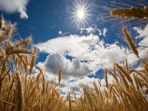Campo de trigo bajo el cielo azul y el sol abrasador