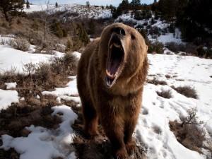 Oso pardo enojado sobre la nieve
