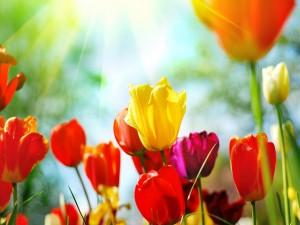 Tulipanes de colores iluminados por el sol
