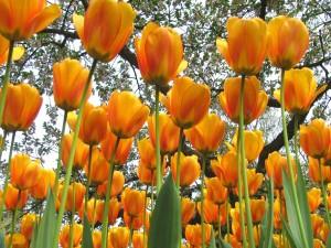 Tulipanes bajo las ramas de los árboles