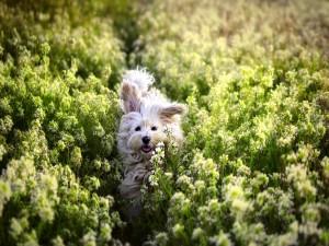Perrito corriendo en el campo entre las flores