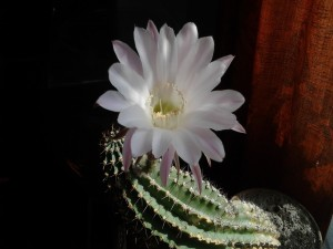 Hermosa flor de cactus