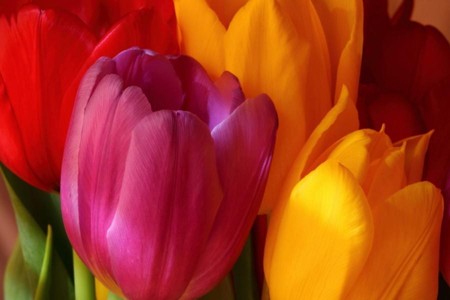 Tulipanes de color amarillo, rosa y rojo