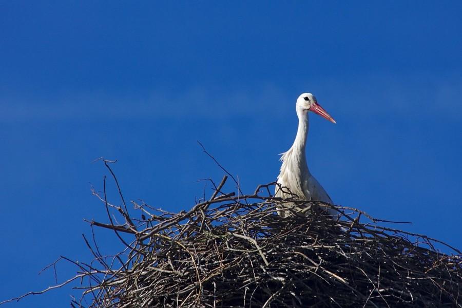 Cigüeña en el nido