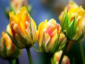 Esbeltos tulipanes