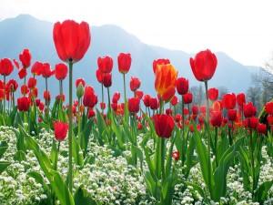 Tulipanes rojos creciendo bajo las montañas