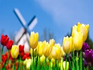 Tulipanes de colores junto al molino