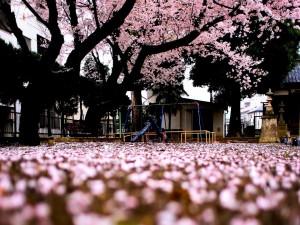 Parque infantil cubierto de flores de cerezos