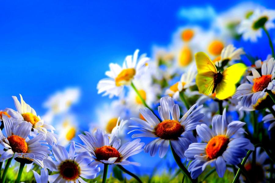 Mariposa amarilla volando sobre unas margaritas blancas