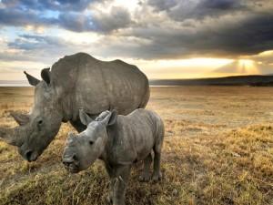 Rinoceronte caminando junto a su cría