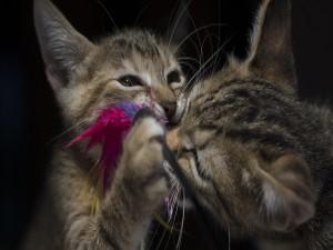 Dos gatitos jugando con plumas