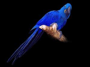 Loro con plumas de color azul sobre una rama