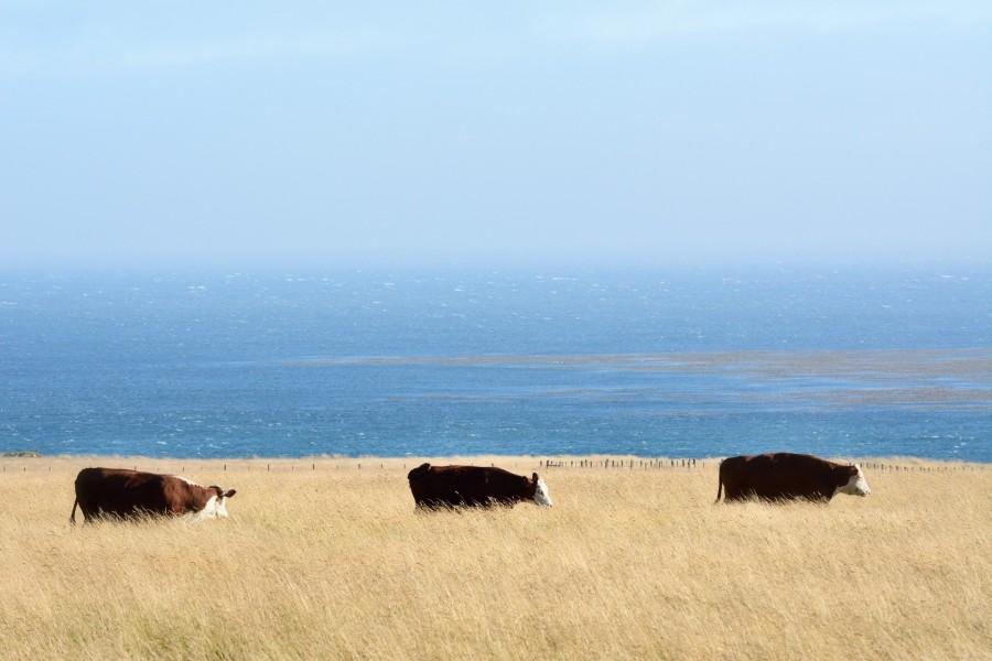 Vacas pastando en el campo junto al mar azul