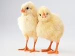 Dos hermosos pollitos