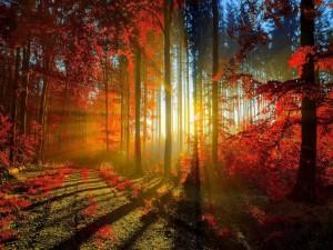 Rayos de sol iluminando el bosque rojo