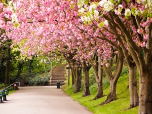 Cerezos en flor en el parque
