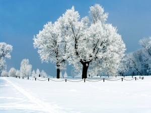 Hermosos árboles en la nieve