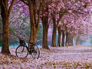 Bicicleta bajo los cerezos en flor