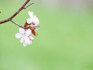 Primeras flores en la rama