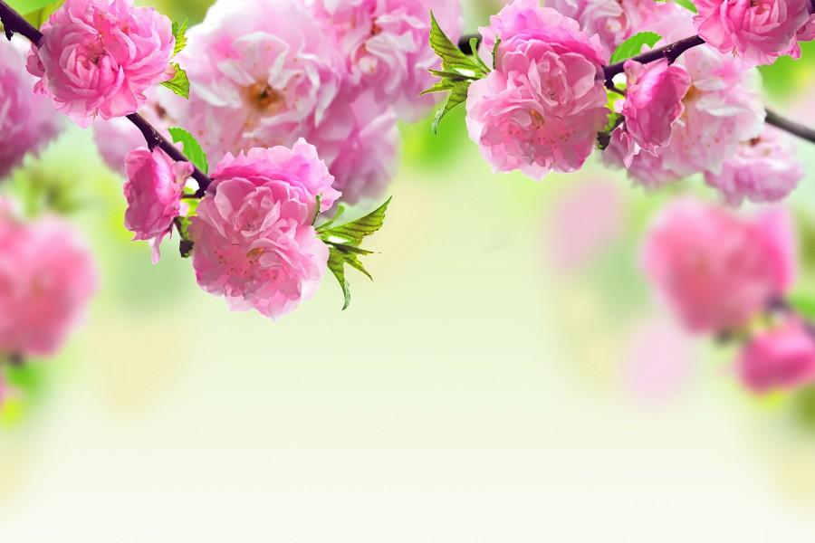Hermosas Flores Rosas Creciendo En Las Ramas 79826
