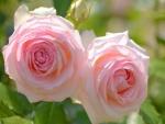 Dos rosas de color rosa en el arbusto