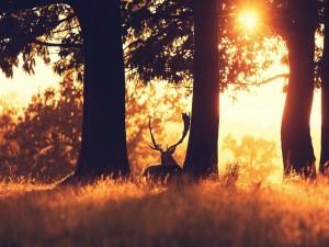 Ciervo entre los árboles al amanecer