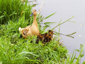 Pato con patitos a orillas del lago