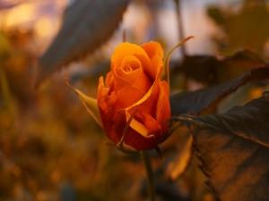 Rosa anaranjada