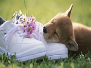 Perrito durmiendo sobre un par de zapatillas
