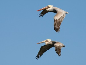 Dos pelícanos volando