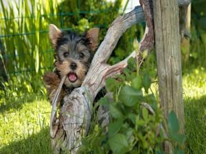 Yorkshire Terrier mirando detrás de un tronco