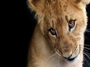 Cachorro de león con una mirada astuta